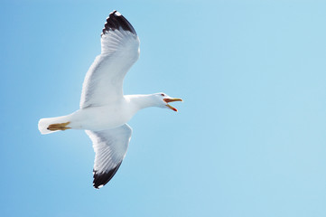 Sea gull in flight on a blue sky