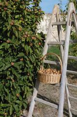 récolte de nèfles