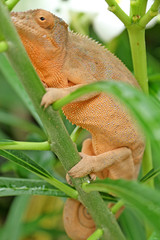 caméléon panthère sur frangipanier