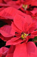 Red poinsettia flowers closeup