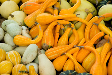 pumpkins, gourds, butternut squash