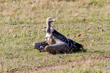 Ruppell's Griffon Vulture sitting in the Masai Mara