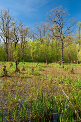 Spring shot of marsh in forest (Turkov Ostrava - Czech Republic)