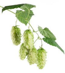 branch of hops on a white background
