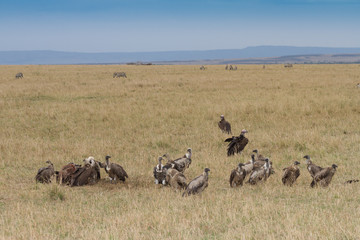 Ruppell's Griffon Vultures feeding in the Masai Mara