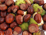 Horse chestnut or conker.