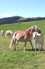 Pferdezucht Alm