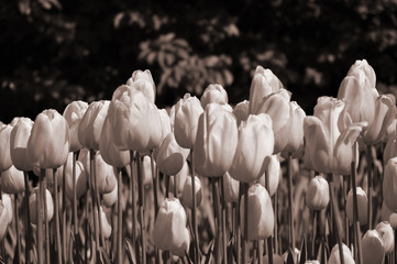 Flowerbed of tulips in the evening sunlight. Sepia toned image.