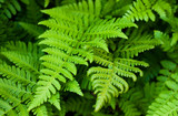 Green fresh fern