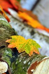 Birkenrinde mit Herbstlaub