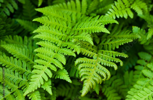 Green fresh fern