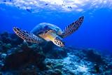 Fototapeta koral - nurkowanie - Gady/Płaz