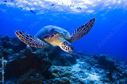 Foto op Aluminium Schildpad Green Seaturtle swimming over the reef in Pulau Sipadan
