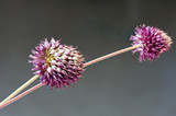 Close-up of Allium amethystinum inflorescence