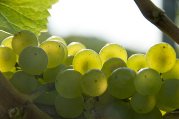 whte grapes in a vineyard