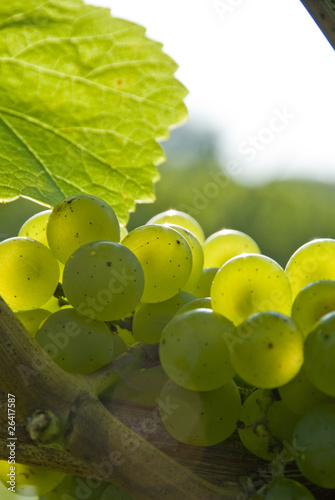 White grapes in a vineyard.