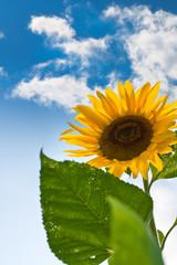 Sonnenblume vor Himmel