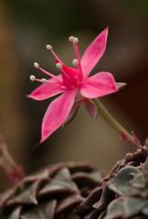 The pink flower. succulent closeup