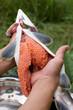 Cutting up fresh-caught salmon (Pink Salmon)