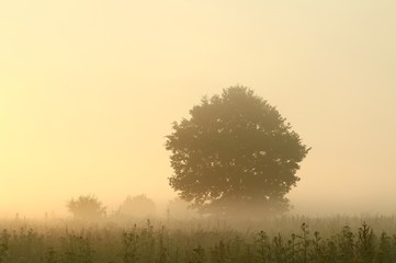 Tree in a meadow lit by the sunlight on a foggy morning