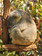 Sleeping koala on a branch