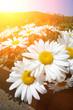 Daisy flowers, wide angle closeup