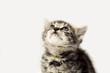Graues Kätzchen