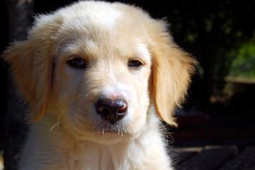 Cucciolo di Labrador 022