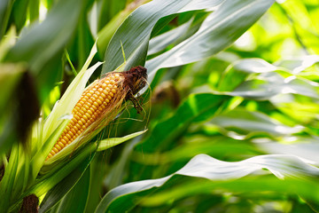corn cob in the field