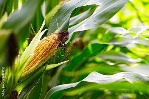 Leinwandbild Motiv corn cob in the field
