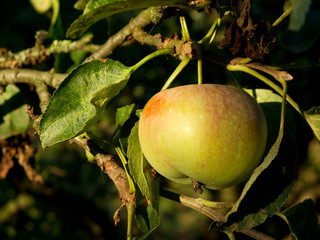 ripe apple on tree in late sunlight