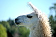 White Alpaca Profile
