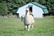 Alpaca Farm 2