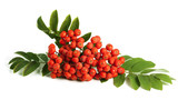 Rowan berry (mountain ash)