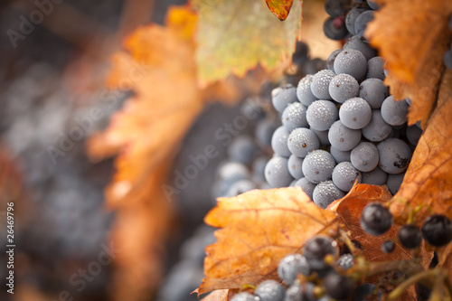 Lush, Ripe Wine Grapes with Mist Drops on the Vine