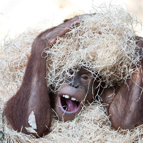 cute orangutan hiding under hay
