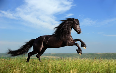 beautiful black horse playing on the field
