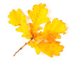 Autumn yellow leaves isolated on white background