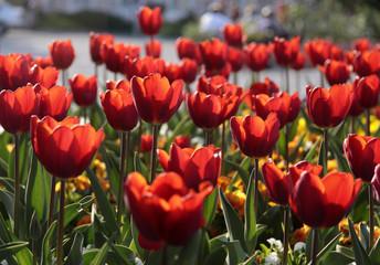 Rotes Tulpenbeet