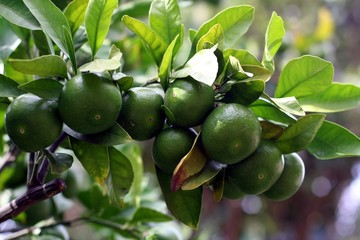 A branch with green mandarins