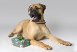Large Pedigree Dog With Christmas Present poster