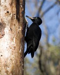 Dryocopus martius, Black Woodpecker