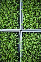 agriculture durable pour salades vertes bio