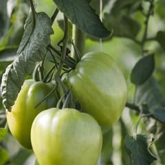 grappes de tomates vertes naturelles sur pied