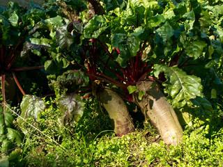 Beetroot, Beta vulgaris, in soil, produced by organic farming