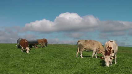 Kühe auf der Weide - Video - Cows on Meadow
