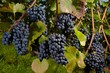ripe Purple Grapes