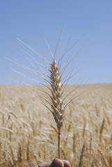 USA_WHEAT FIELDS