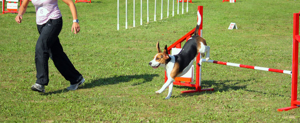 Border Collie Agility Dog