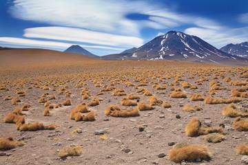 paja brava close to volcano Miscanti, desert Atacama, Chile